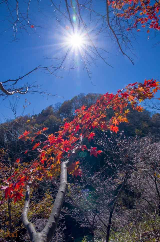 20151128冬桜_藤岡桜山公園11