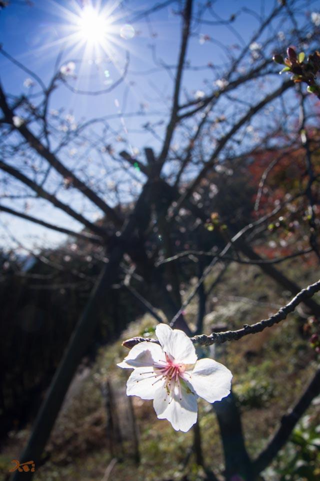 20151128冬桜_藤岡桜山公園05