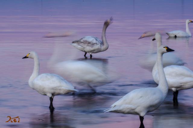 20160109白鳥_多々良沼17