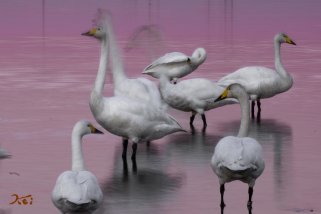 20160109白鳥_多々良沼15