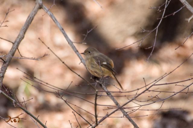 20160116野鳥09
