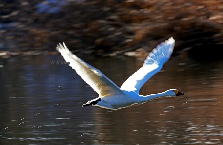 0126_白鳥 15