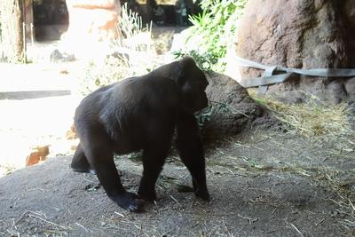 gorilla_1510.jpg