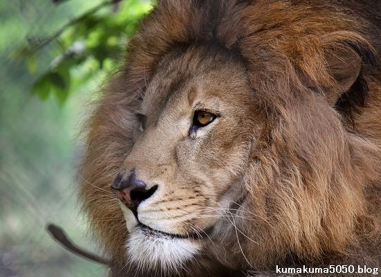 ライオン_1091