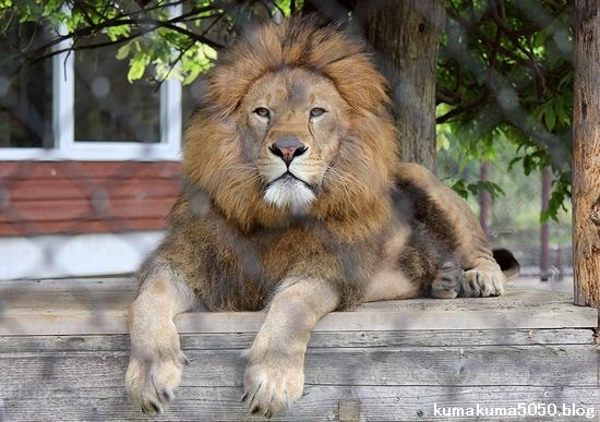 ライオン_1092