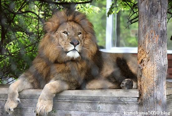 ライオン_1093