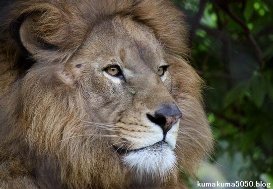 ライオン_1094