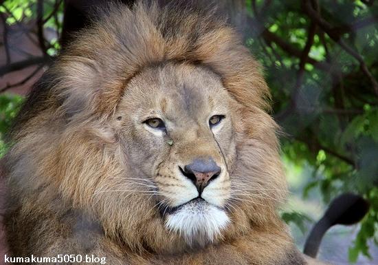 ライオン_1095