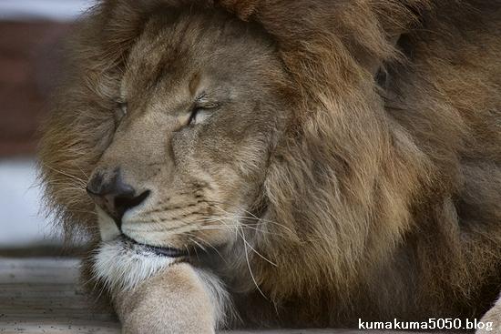 ライオン_1096