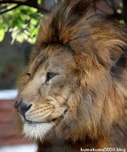 ライオン_1098