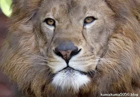 ライオン_1100