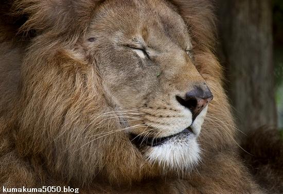 ライオン_1101