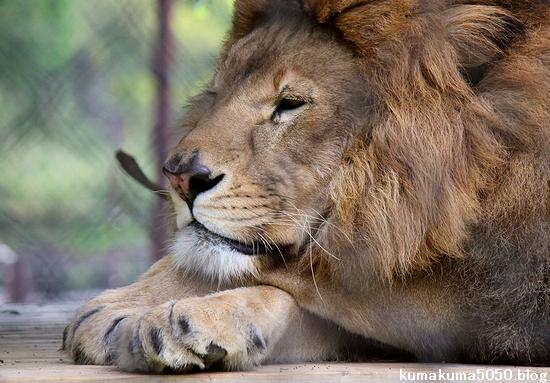 ライオン_1106