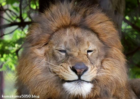 ライオン_1111
