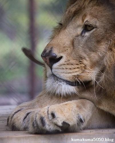 ライオン_1105