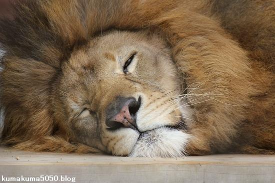 ライオン_1115