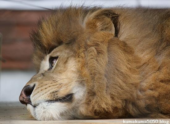 ライオン_1117