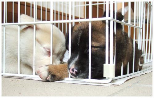 コロコロの小犬達。
