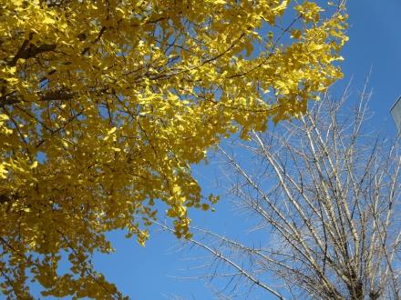 銀杏の木と木と空