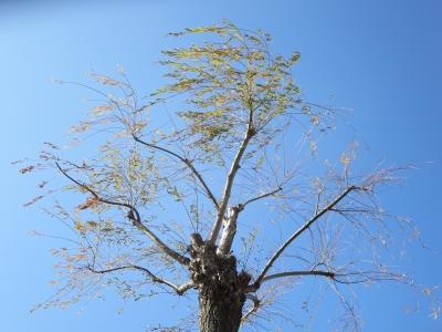 諏訪の街路樹