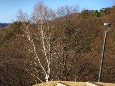 立石公園の白樺