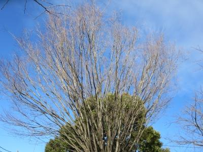 上依知、工業団地そばの公園の木