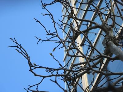 ビジネスタワーの脇の樹の芽