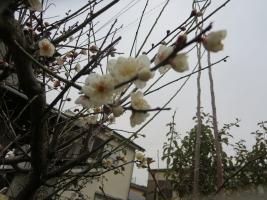 白梅 寿町