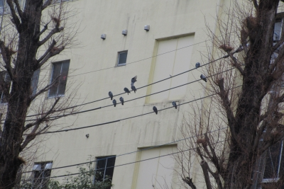 大手公園の電線の鳩たち