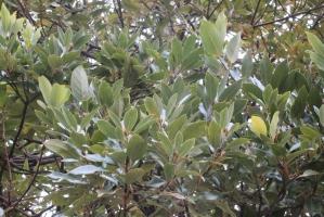 エステ前の小葉の樹