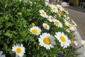 中町公園の小菊①