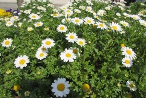 中町公園の小菊②