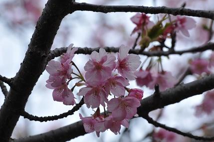 昼の桜 2