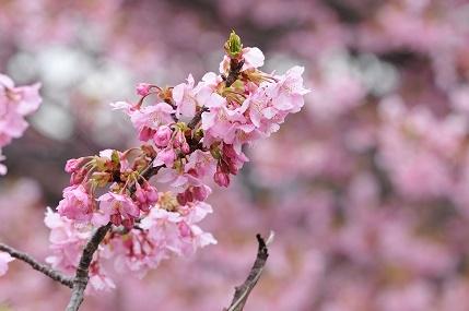 昼の桜 3
