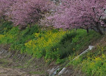土手の菜の花とサクラ