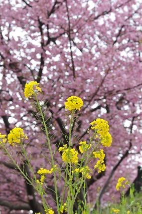 サクラと菜の花
