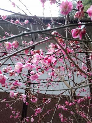 雪が降り積もった梅の花