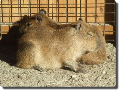 mini_kapibara_DSCF0288.jpg
