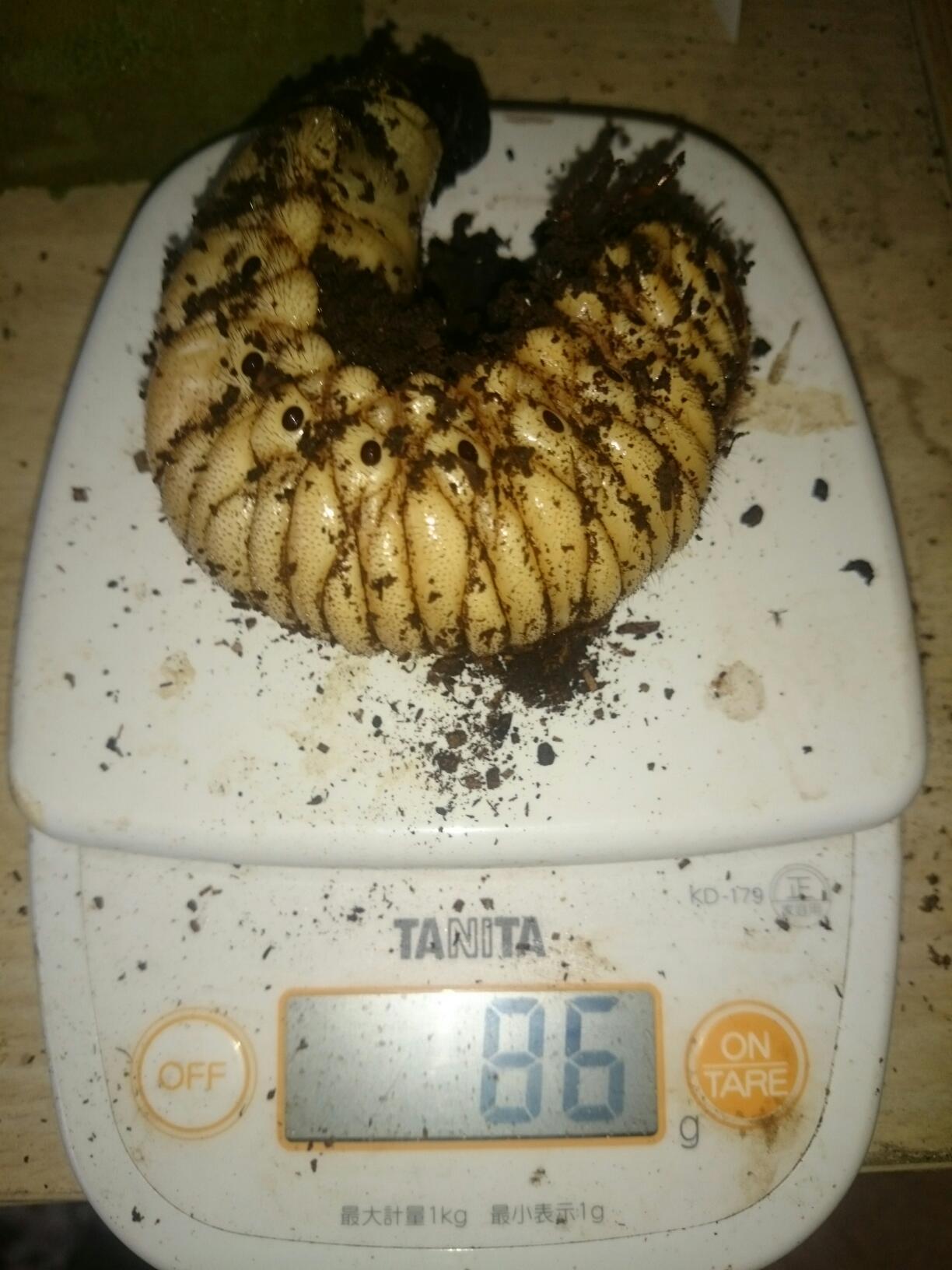 エレファスゾウカブト幼虫