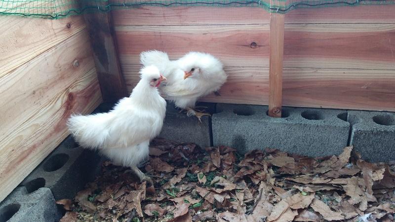 烏骨鶏160126-6