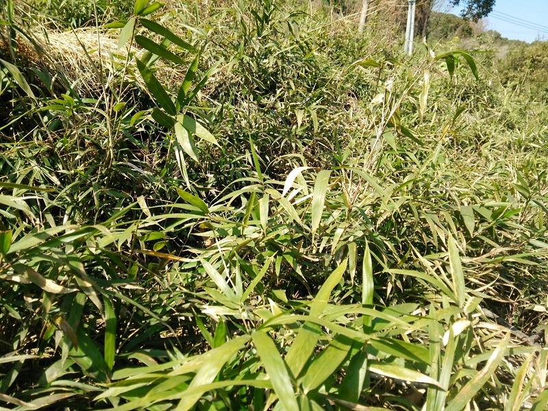 竹刈前160303-3