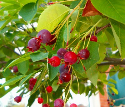 PlantSale_Serviceberry_berries.jpg