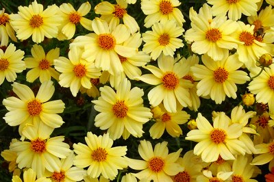 coreopsis_moonlight_1b.jpg