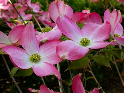 flowering-dogwood.jpg