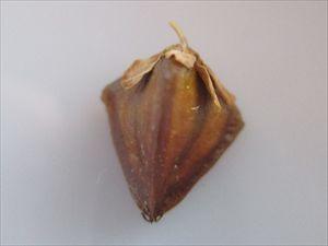 シャクチリソバ(赤地利蕎麦)
