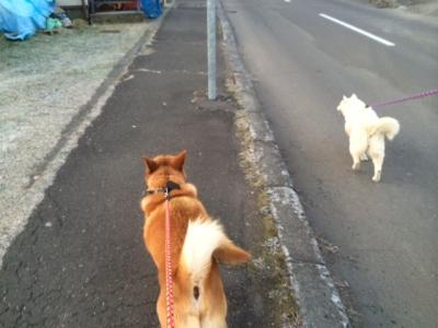 らっきぃとチロちゃんお散歩