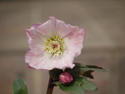 Christmas rose(絞り)