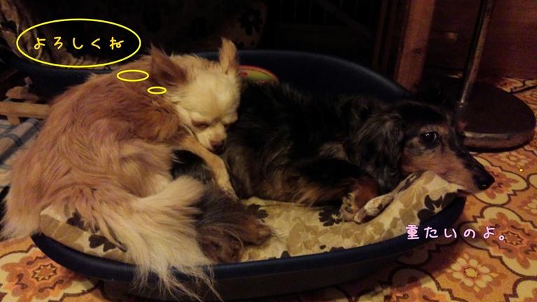 白チワワと娘犬