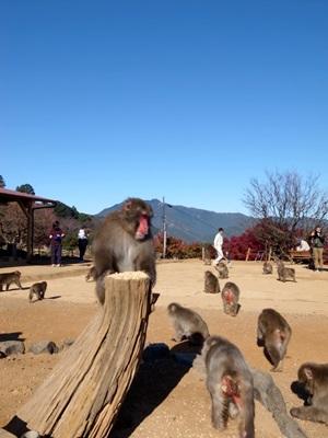 嵐山モンキーパークの猿1512