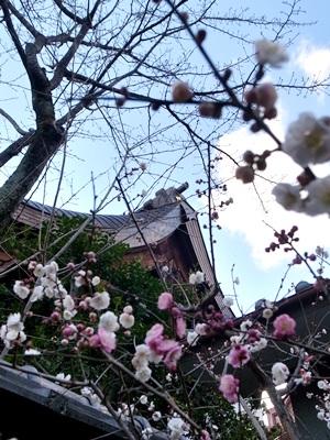 菅原院天満宮神社源平咲き梅1602